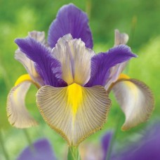 Bolbo Iris Gipsy Beauty