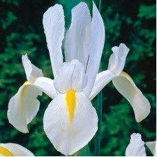 Bolbo Iris White Perfection
